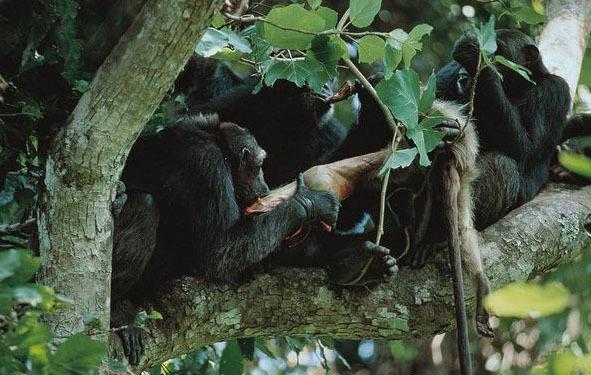 Шимпанзе поедают убитую обезьяну — красноголового колобуса - Первобытная война. Почему люди воюют | Военно-исторический портал Warspot.ru
