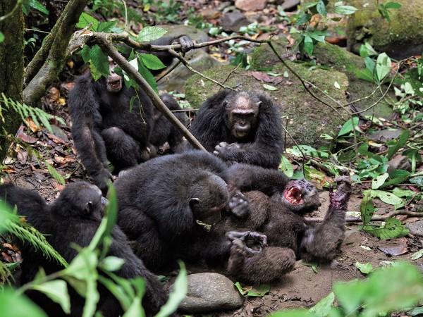 Группа шимпанзе убивает чужака - Первобытная война. Почему люди воюют | Военно-исторический портал Warspot.ru