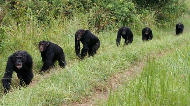 Группа шимпанзе патрулирует территорию - Первобытная война. Почему люди воюют | Военно-исторический портал Warspot.ru