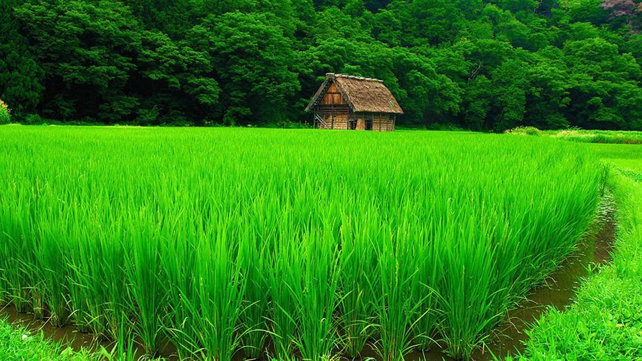 Каждый клочок плодородной земли в Японии занимали рисовые поля Источник: hutufan.com - 257 лет японского долготерпения | Военно-исторический портал Warspot.ru